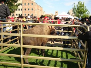Ralphie V greets players and fans outside of Folsom Field